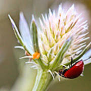 Ladybug On Thistle Art Print