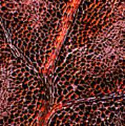 Leaf Anatomy, Light Micrograph Print by Dr Keith Wheeler