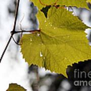 Leaves Of Wine Grape Art Print
