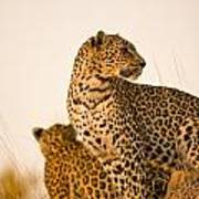 Leopard Panthera Pardus, Arathusa Art Print