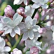 Lilac Named Beauty Of Moscow Art Print