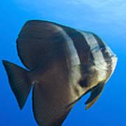 Longfin Spadefish, Papua New Guinea Art Print