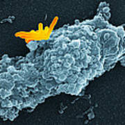 Macrophage Engulfing Bacteria, Sem Art Print