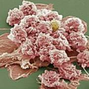Macrophages, Sem Art Print