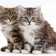 Maine Coon Kittens Art Print