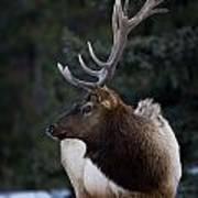 Male Elk Cervus Canadensis Art Print by Richard Wear