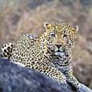 Male Leopard Art Print