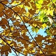 Maple Leaf Canopy Art Print