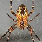 Marbled Orb Weaver Spider Art Print