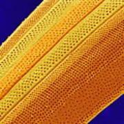 Marine Diatom Alga, Sem Art Print