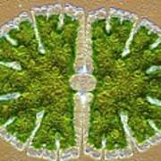 Microsterias Green Alga, Light Micrograph Art Print