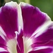 Morning Glory (ipomoea Purpurea) Art Print