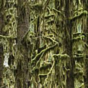 Moss Covered Trees, Hoh Rainforest Art Print
