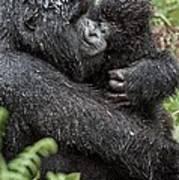 Mountain Gorilla And Infant Art Print