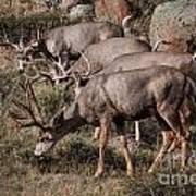 Mule Deer Bucks Art Print