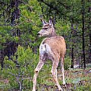 Mule Deer Doe Art Print