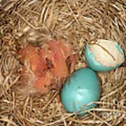 Newborn Robin Nestlings Art Print