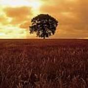 Oak Tree In A Barley Field, Ireland Art Print