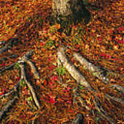 Oak Tree Roots And Pine Needles Art Print by Raymond Gehman