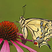 Oldworld Swallowtail Papilio Machaon Art Print