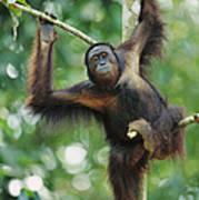 Orangutan Pongo Pygmaeus Adult Sitting Art Print