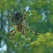Orb Spider      Summer           Indiana Art Print