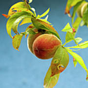 Organic Peach Tree, Art Print by Pete Starman