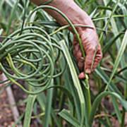 Organic Serpent Garlic Art Print