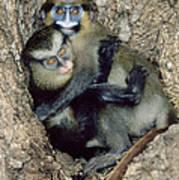 Orphaned Guenons Art Print