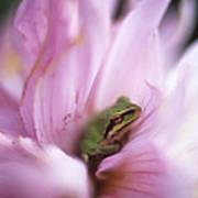 Pacific Treefrog On A Dahlia Flower Art Print by David Nunuk