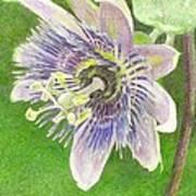 Passiflora Alatocaerulea Art Print by Steve Asbell