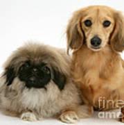 Pekingese And Dachshund Puppies Art Print by Jane Burton