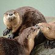 Pelican Creek Otter Family Art Print