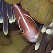 Pink Skunk Clownfish In Its Host Art Print