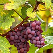 Pinot Noir Grapes Art Print