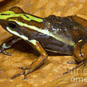Poison Frog With Eggs Art Print