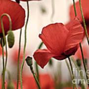 Poppy Flowers 04 Art Print