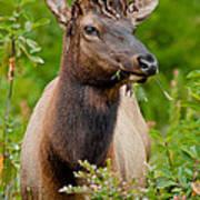 Portrait Of A Bull Elk Art Print