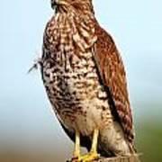 Portrait Of A Red Shouldered Hawk Art Print