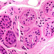 Primate Sweat Gland Print by M. I. Walker