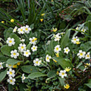 Primroses (primula Vulgaris) Art Print by Dr Keith Wheeler