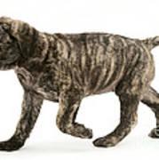 Puppy Trotting Print by Jane Burton