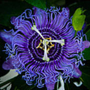 Purple Flower 1 Art Print