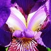 Purple Iris Macro Art Print