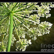 Queen Ann's Lace Art Print