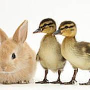 Rabbit And Ducklings Art Print