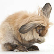 Rabbit Grooming Art Print