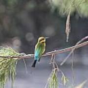 Rainbow Bee-eater V4 Art Print