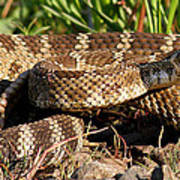 Rattlesnake Art Print