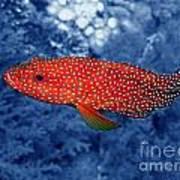 Red Coral Cod Art Print by Serena Bowles